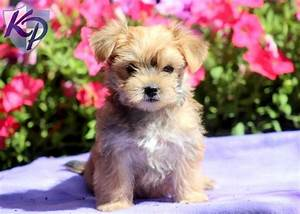 Andi – Morkie Puppy #morkie   Morkie Puppies   Pinterest ...