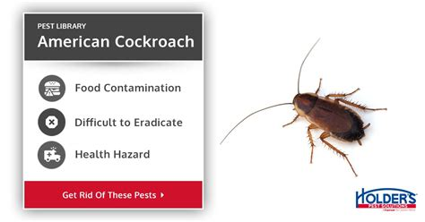 american cockroach types facts   identify