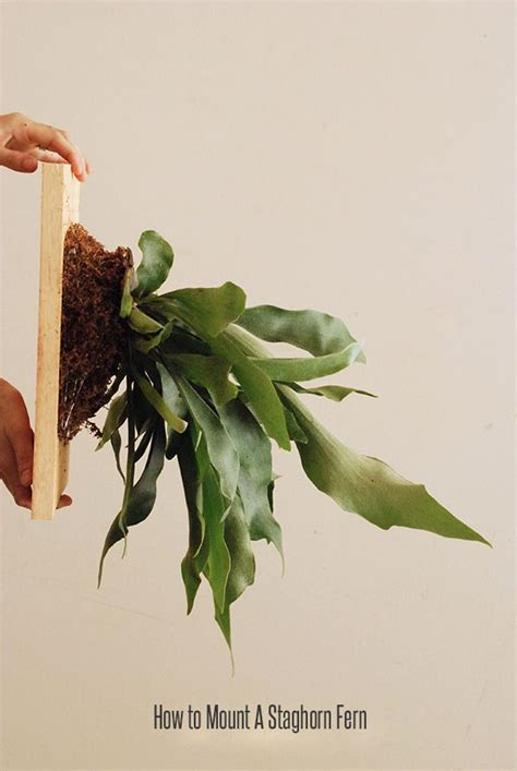 how to plant a staghorn fern in a hanging basket how to mount a staghorn fern plants garden pinterest