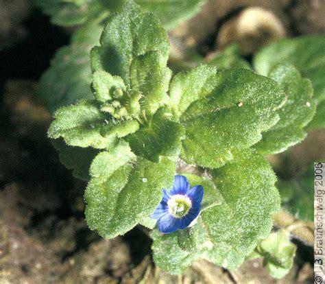 http://flora.nhm-wien.ac.at/Seiten-Arten/Veronica-opaca.htm