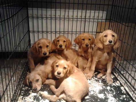 Golden Retriever Xer Puppiesupdated Gloucester