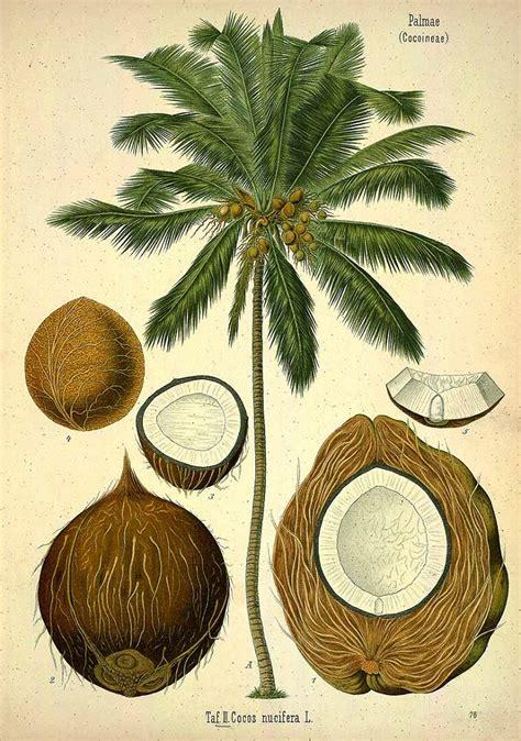 coconut botanical art