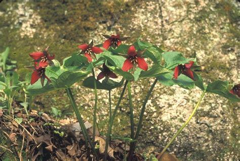 planting trilliums trillium erectum red trillium red wakerobin go botany