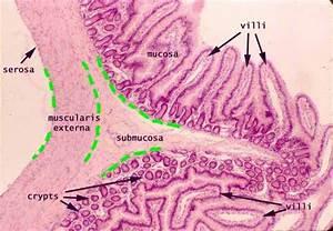 Histology Small Intestine