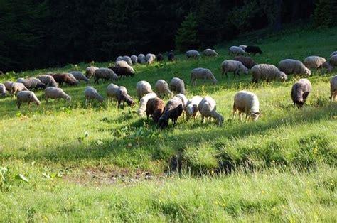 troupeau de moutons images gratuit sur 4 free photos
