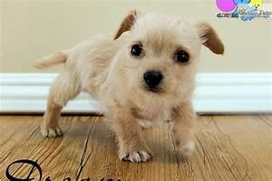 Chi-Poo - Chipoo puppy for sale near Chico, California ...