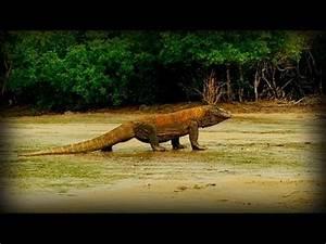 Komodo Dragon Vs Anaconda