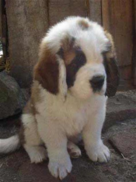 saint berdoodle dog breed 187 information pictures more