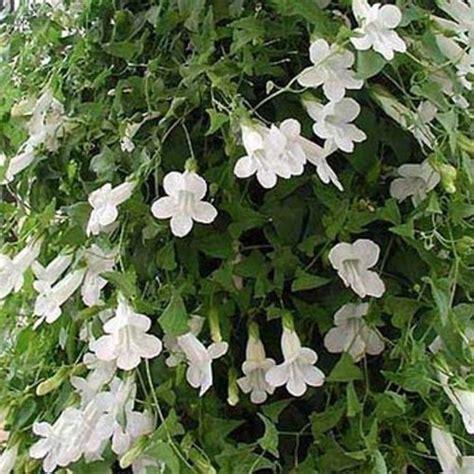 Climbing Snapdragon (asarina Scandens White) Perennial