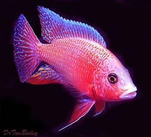 Peacock Cichlid for Sale AquariumFish