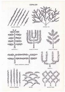 Espalier Diagram Vintage Encyclopedia Illustration Page