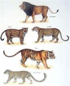 kitchen ideas on jaguar vs leopard best images collections hd for gadget