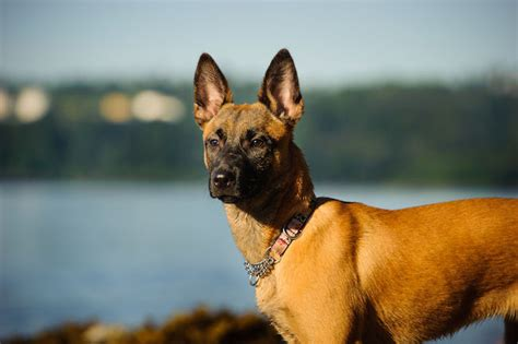 Belgian Malinois vs German Shepherd Dog