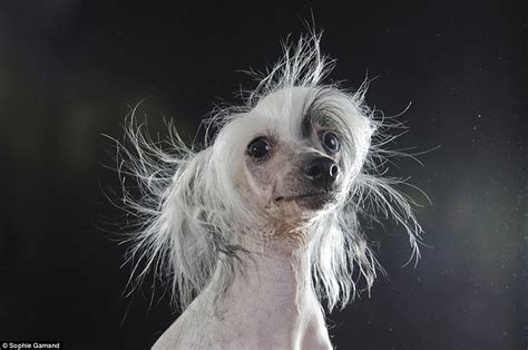 P Ographer Sophie Gamand Captures Portraits Of Bald Dog Breeds Daily Mail Online