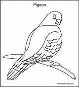 Pigeon Coloring Pages Colorings Bird Drawing Pigeons Printable Farm Quilt Template Birds Books Sketch Ws Getdrawings sketch template