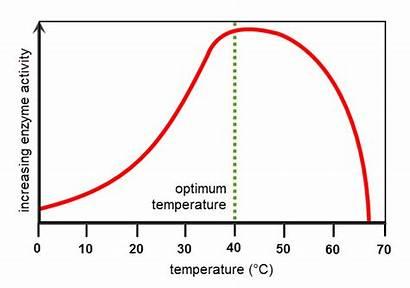 Enzymes Enzyme Temperature Optimum Activity Proteins Worksheet
