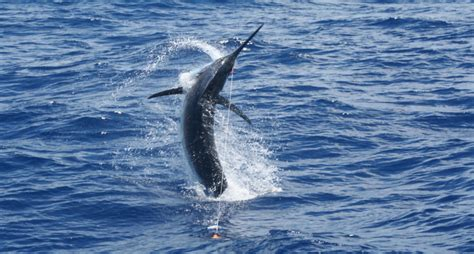 Marlin Jumps In Boat by 350 Pound Marlin Jumps Into Anglers Boat
