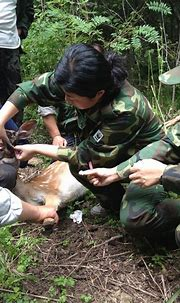 Prey for China's endangered wild Amur tigers released on ...