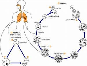 Candida Albicans Life Cycle Diagram