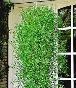 Bambus Pflege Zimmerpflanze : h ngender bambus 39 green twist 39 bambus bei baldur garten ~ Michelbontemps.com Haus und Dekorationen