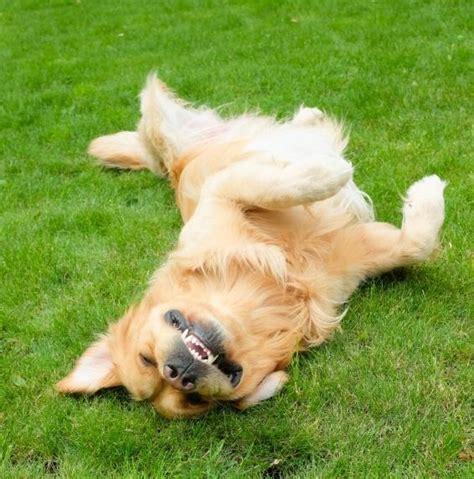 mon chien fait pipi sur les tapis por qu 233 los perros se revuelcan uncomo