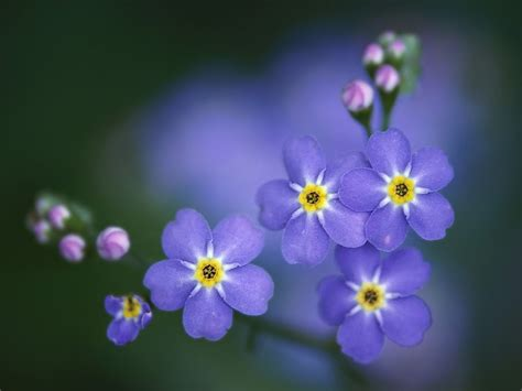 forget me nots memoirs of algeisha forget me not