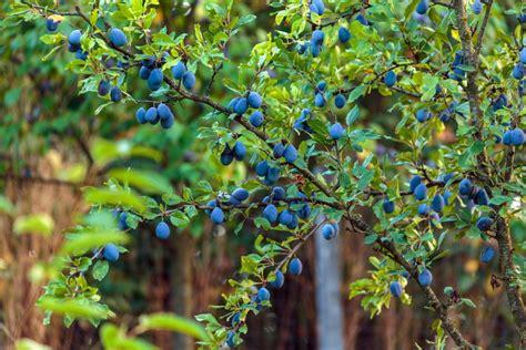 Pflaumenbaum Richtig Pflanzen Und Pflegen by Pflaumenbaum Pflanzen Anleitung Tipps Zur Pflege Plantura