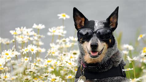 full hd wallpaper glasses dog daisy amusing desktop