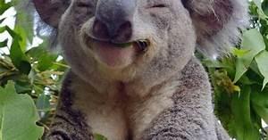 koala smiling   Cute Nature! ‿ * Koala, Panda, Panda Rossi ...