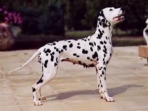 Dalmatian dog - Wikipedia
