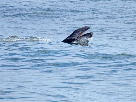 46 best images about gray whales on pinterest mouths