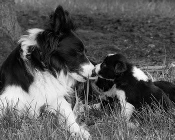 border collie dogs  breeders  canada canadogs