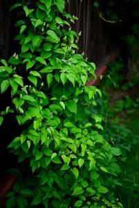 Hortensien Blätter Werden Braun : clematis bl tter welken ursachen und ma nahmen ~ Lizthompson.info Haus und Dekorationen