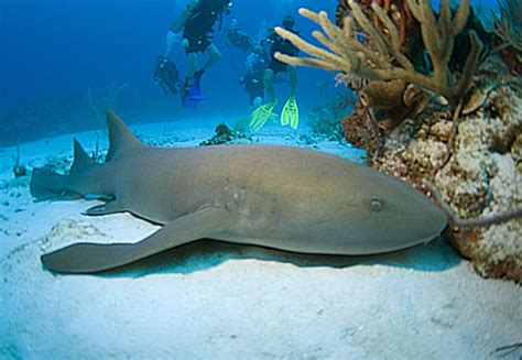 requin dormeur verpleegsterhaai