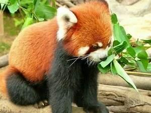 Baby red panda | Red Pandas (: | Pinterest