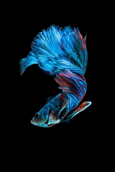 pin  tina daniel  underwater betta fish betta fish