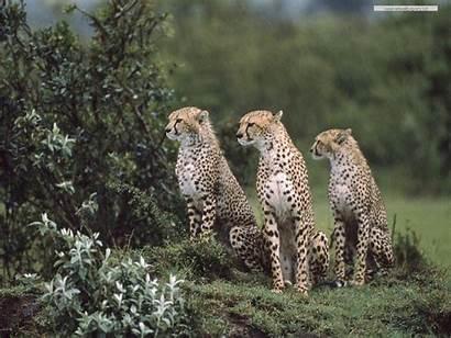 Wild Desktop Wallpapers Animals Backgrounds Computer Animal