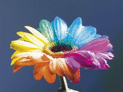 colori dei fiori fiori a 2 colori focus junior