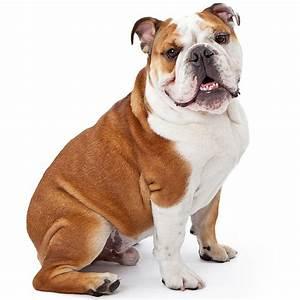 Australian Bulldog Dog Breed Information | Temperament ...
