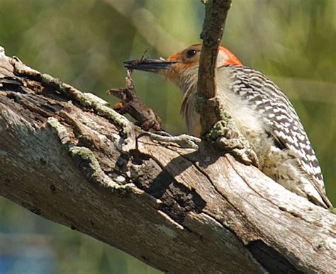 red and the peanut a red bellied woodpecker eating a