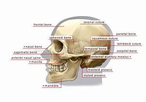 Ivnducsocal  Bones Of Skull