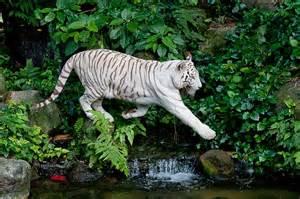 Natural Habitat White Bengal Tiger
