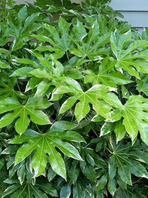 variegated japanese aralia fatsia japonica variegata variegated japanese aralia information photos