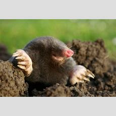 How To Rid Your Yard Of Moles Hgtv