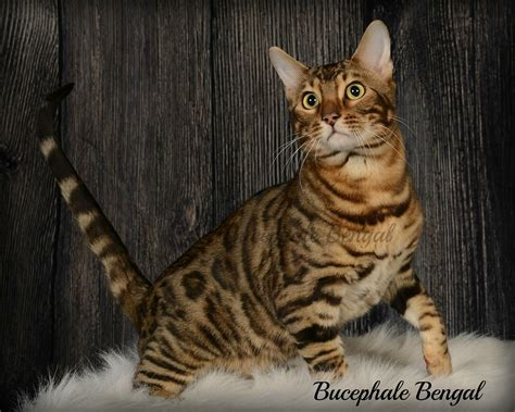 Cat Breeders by Bengal Cat Breeders In Canada Bengalcats Co Directory