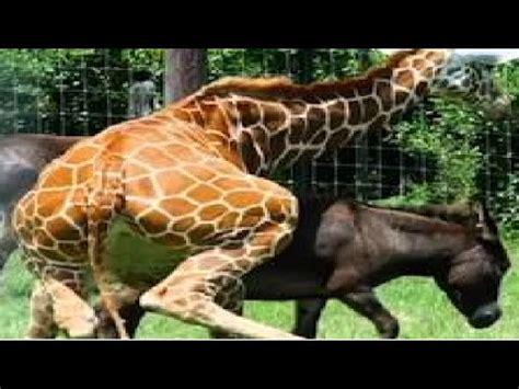 animal salvaje temporada de apareamiento burro  caballo  animales youtube