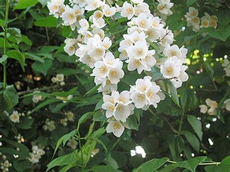 arbusti dai fiori rosei piante e fiori filadelfo philadelphus o fiore degli angeli