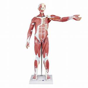 80cm Human Anatomical Muscle Model Male  27 Parts