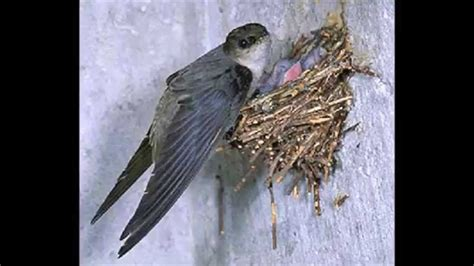 Chimney Swift Audio By Get Bats Out