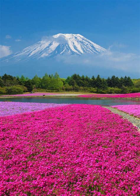 pink moss field mount fuji japan full dose